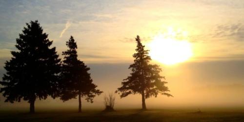 Pine Trees Fog